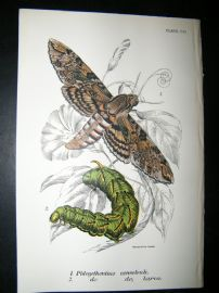 Allen & Kirby 1890's Antique Moth Print. Phlegethantius Convlvuli